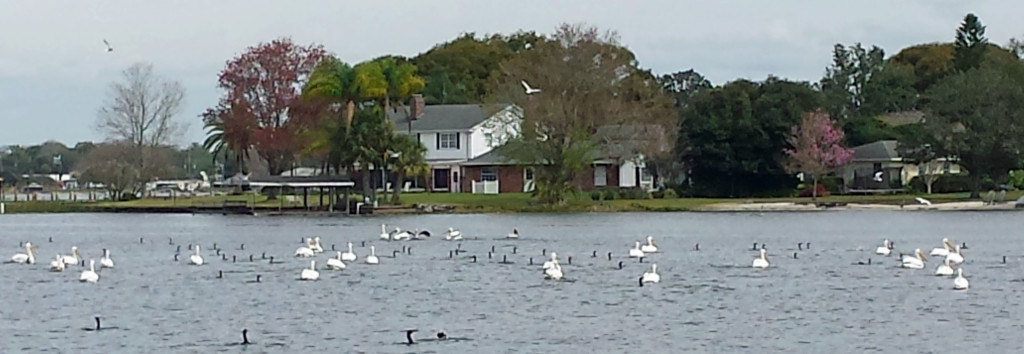Pelicans on the Lake