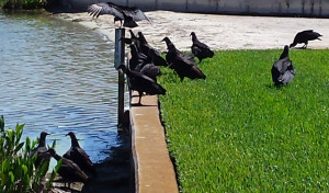 Vultures on Lake